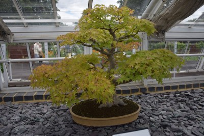 kew bonsai1.jpg